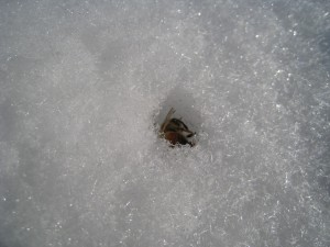 A dead bee in the snow