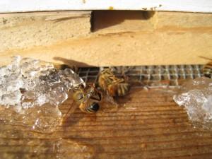 Dead Honey Bees on the Landing Board
