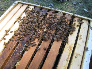Picture of a bee cluster in late February