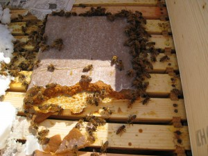 Bees enjoying pollen and sugar with the Mountain Camp method