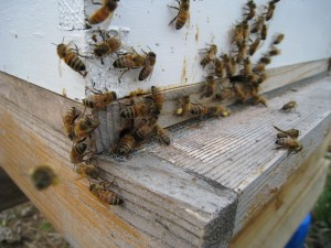 Honey bees in the strong hive begin to venture out in Spring