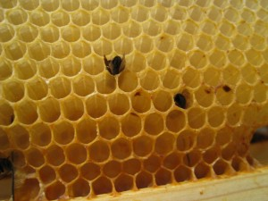 Two dead bees, head first in the comb