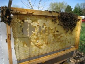Honey Bee Comb Eaten Through