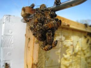 Ball of Honey Bees