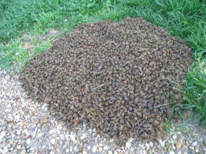 Swarm of Bees on the Ground