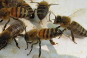 Bees Fanning Scent