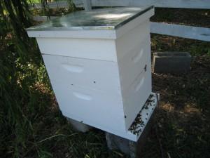 Queenless Post-split Hive