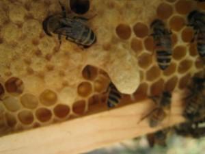 New Honey Bee Queen Cell