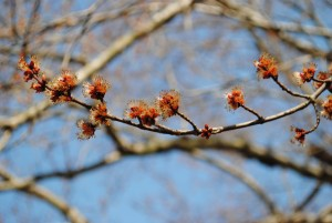 Maple Blooms