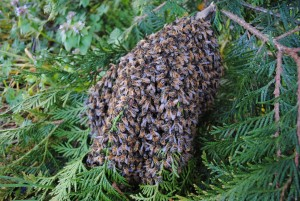 A swarm of bees on a thuja branch