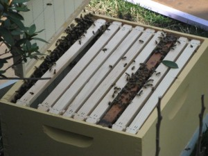 Open Hive with Newly Caught Swarm
