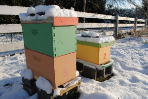 Overwintered Nucs in Snow