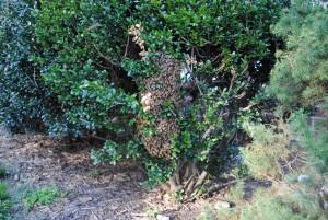 Pic of Honey Bee Swarm in Chesterfield, Va